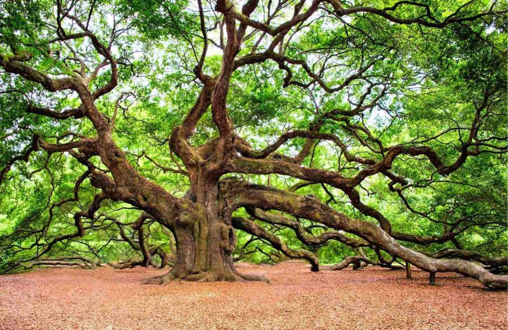 You'll find so many fun things to do during your weekend in Charleston and Angel Oak is one of them.